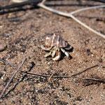 Einsidler-Krebse mit gestohlenem Schneckenhäuschen