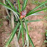 Bali Ananas