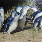 Pinguine on Phillip Island (Little Blue Pinguin)