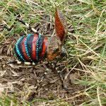 farbiger Käfer