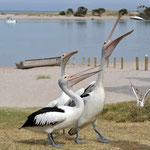 Kalbarri - Pelikanfütterung