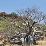 Boab Tree