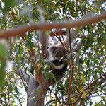 Yanchep N.P. - Koala
