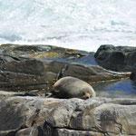 Kangaroo Island - Seeloewen