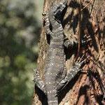 Goana - Riesenechse auf Baum