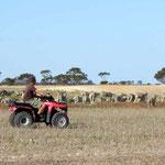 Schafe zügeln