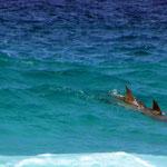 Delfine in den Wellen / Fitzgerald River NP