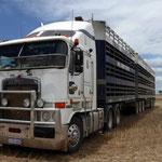 Schaftransport für ca 800 Schafe auf der Nachbarsfarm