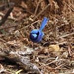 Kleines blaues Vögeli