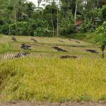 Bali Reisplantage
