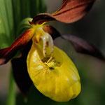 Kategorie 4 Pflanzen und Pilze: Inspektion des Frauenschuhs