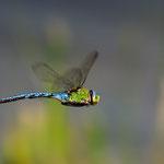 Kategorie 3 Andere Tiere: Aufklärungsflug der Grossen Königslibelle