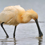 Kategorie 1 Vögel: Löffler beim... Löffeln