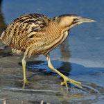 Kategorie 1 Vögel: Rohrdommel