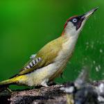 Kategorie 1 Vögel: Grünspecht an der Tränke