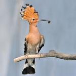 Kategorie 1 Vögel: Fütternder Wiedehopf