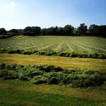 Grass all cut ready for silaging
