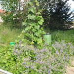 Stangenbohnen umgeben von Borretsch