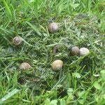 Schneckenfest auf Schnittgut vom Rasenmäher