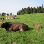 Sabah, die kleine Morgensonne - ein echtes Limousinchen