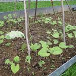 Stangenbohnen eine Woche älter