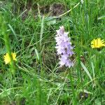 eine Orchis...
