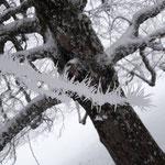 Jeden Tag ein bisschen längere Frostblumen (eb)