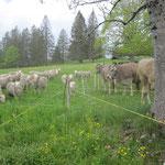 unsere Kühe fragen sich, wer das ist und warum die die beste Weide bekommen.