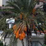Dat palms