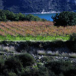 Vines at Kouris Dam
