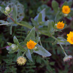 More field calendula