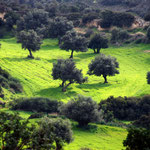 Wheat and olives above Kouklia