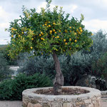Lemon tree at Sanctuary of Aphrodite at Palaipafos