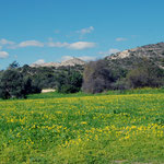 Field of buttercup oxalis and olive trees