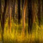 Eukalyptuswald