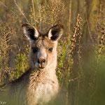Grey Kanguruh, Australien