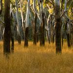 Eukalyptuswald Australien