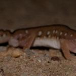 Gecko Westaustralia