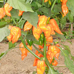 Naga Dorset Orange
