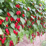 Naga Morich Red King