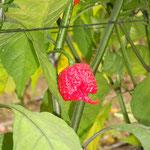 Carolina Reaper Red