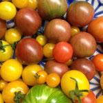 Samenfeste Bio-Tomatensorten: Black Cherry, Yellow Currant, Rote Murmel, Brandywine, Harbinger, Mieurinski, Clarita, Wildtomate Hummboldtii, Sun Baby