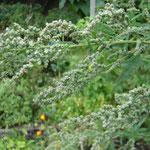Samen und Blätter des mit Quinoa verwandten, heimischen Weißen Gänsefußes