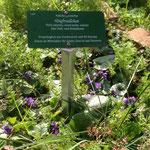 Veilchen im Café Botanico Wildkräuter Lehrpfad