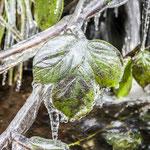 Eingefrorenes Brombeerblatt