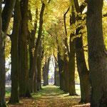 Foto 7 Eine erhabene Linden-Allee im Waldviertel