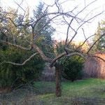 Foto 8 Schnitt eines Apfelbaumes