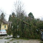 Foto 6 Sturmschaden: Windwurf einer Fichte im Marchfeld