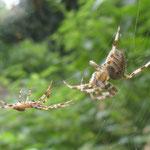 Garden spiders Araneus diadematus