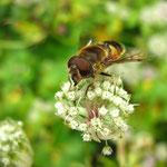Das Tier Apis, die Biene hilft bei: Psychisch Erregung - Allgemein Hitzewallungen - Körperlich brennende Entzündungen